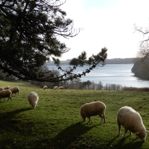Sheep and Carrick Roads