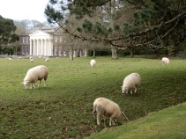 Sheep and Trelissick House