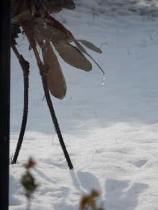 Icicle hanging from Muker's copper tail feathers