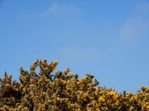 Gorse under a blue sky