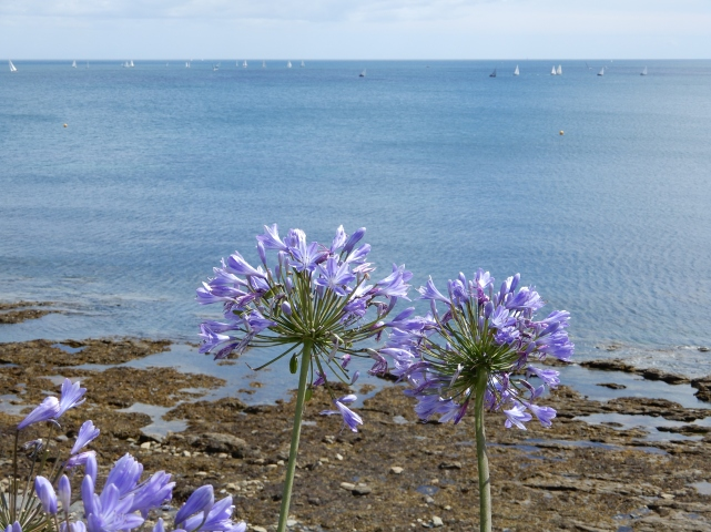 Agapanthus and Falmouth Bay