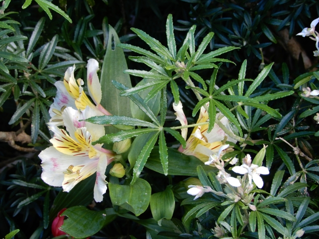 Alstroemeria with Choisya Ternata