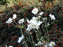 Japanese Anemones and Cotoneaster Berries