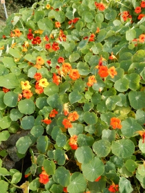 A neighbour's Nasturtiums