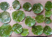 Nasturtium leaves ready for the oven