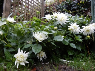 Beaten down Dahlias