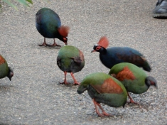 The crested partridge (Rollulus rouloul) in the Rain Forest Biome where they eat bugs and cockroaches and generally clear up.