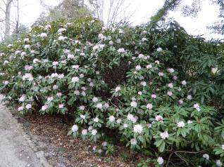 Rhododendron or Azalea