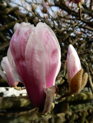 One emerging blossom