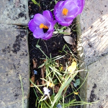 Crocuses and other bulbs freed from smothering leaves