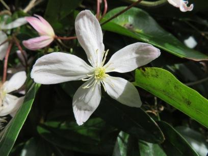 Clematis Armandii 5 petals