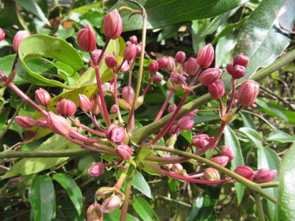 Clematis Armandii buds