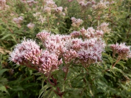 Hemp Agrimony Also known as 'Raspberries and Cream' Thanks to Jude
