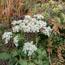 Cow parsley or Queen Anne's Lace, a much prettier name used in USA