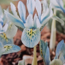 Dwarf Iris Injad Sherwood