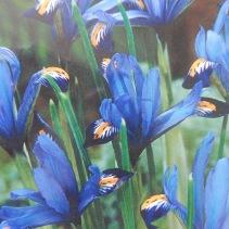 Dwarf iris Reticulata Gordon