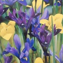 Mixed Dwarf Iris