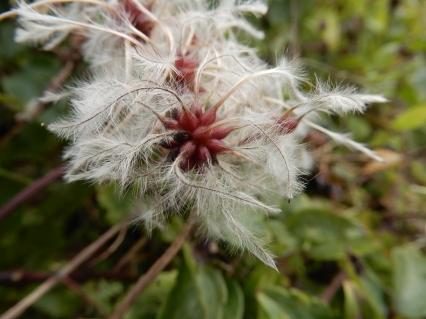 Seeds of Old Man's Beard