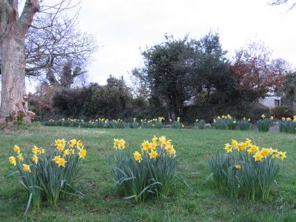 Daffodils in Perranwell