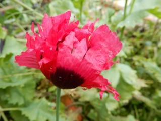 Self sown Poppy in the veg garden