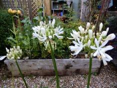 White Agapanthus, in pots in the veggie garden