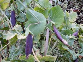 A few Purple Mange Touts