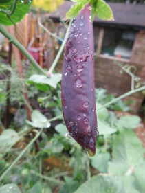 Purple Mangetout