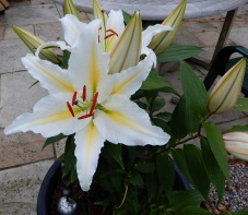 Lilies in a pot on the patio